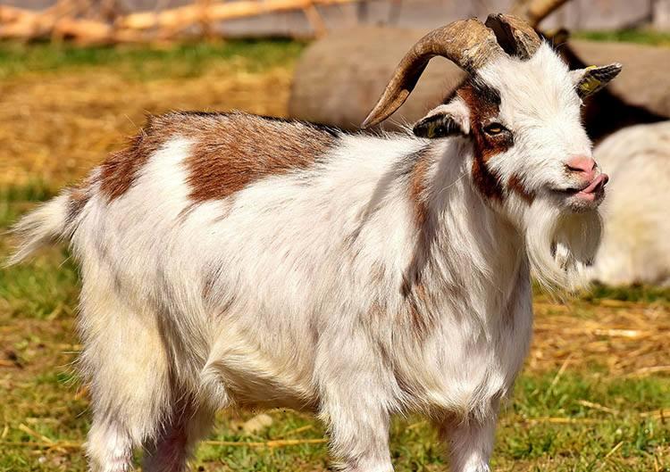 ciekawostki o zwierzętach koza kozy