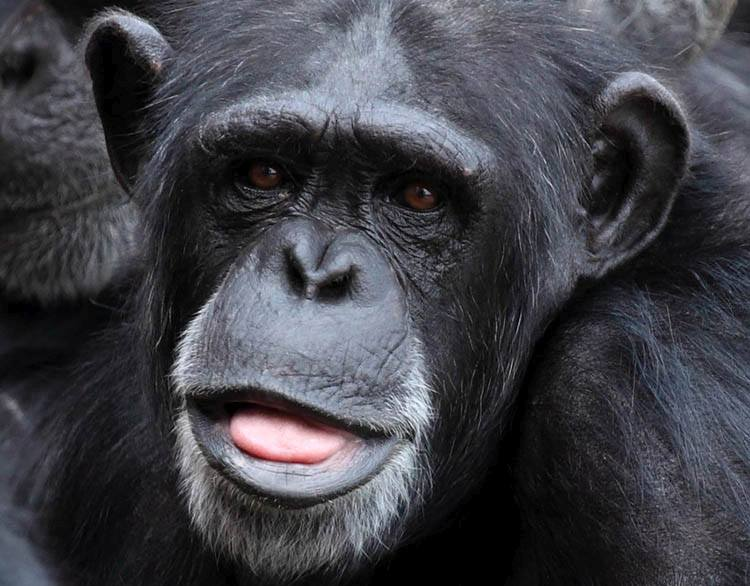 ciekawostki o zwierzętach szympans szympansy