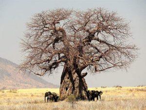 baobab w pustyni i w puszczy nazwa krzyżówka afrykański baobaby ciekawostki