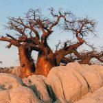 baobab ciekawostki baobaby Afryka drzewa przyroda