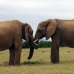 penisy zwierząt jakie zwierzę ma największego penisa słonie
