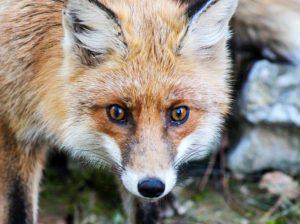 lis myśliwy polowanie strzelba