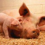 świnie świnia hodowla trzody dowcipy o zwierzętach na wsi
