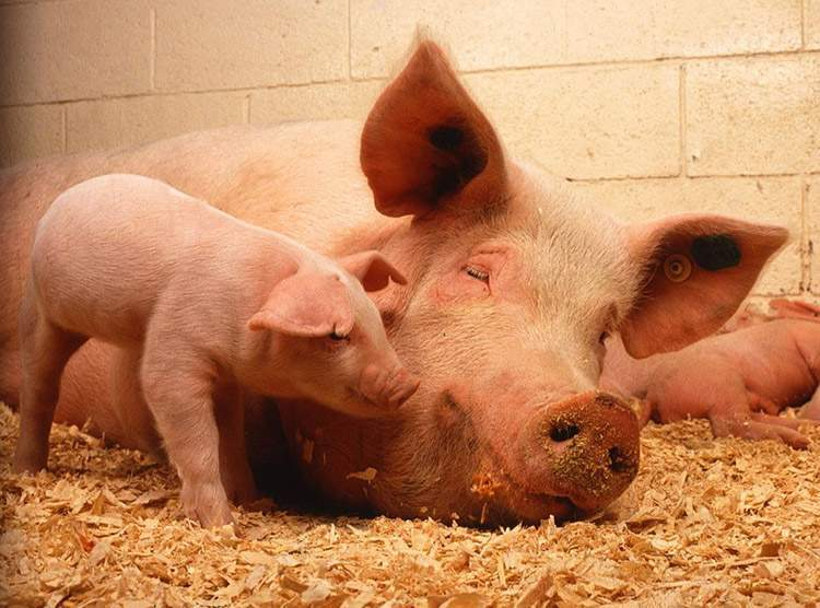 świnie świnia hodowla trzody