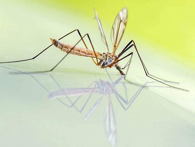 komar komary