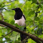 sroka ciekawostki ptaki najpopularniejsze przysłowia polskie