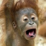 orangutan dowcipy o małpach humor małpa kawały małpy goryle małpki
