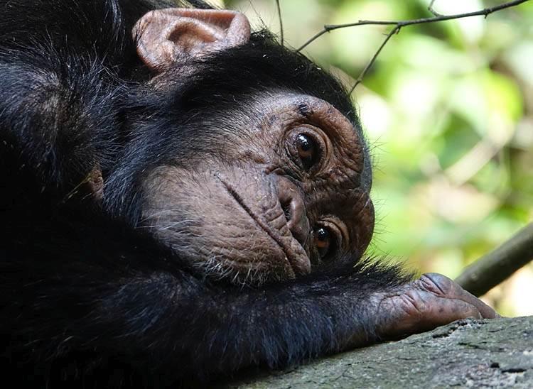 szympans dowcipy o małpach humor małpa kawały małpy goryle małpki