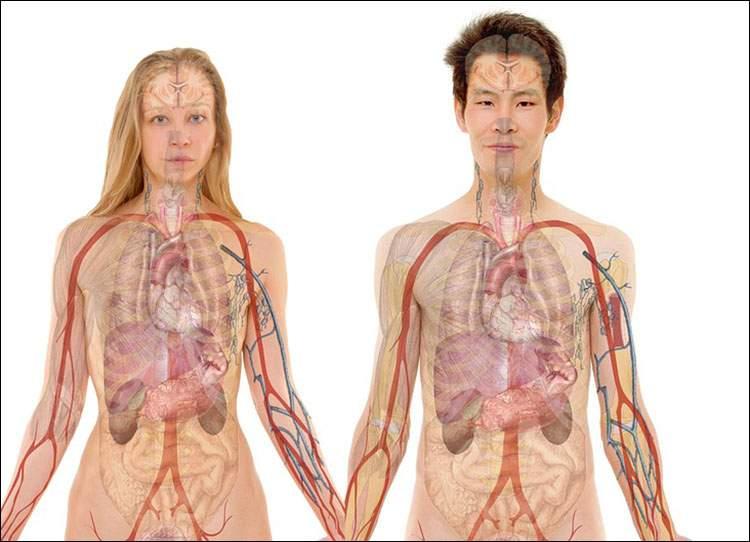 wątroba ciekawostki człowiek narządy wewnętrzne