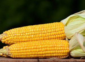 kukurydza ciekawostki