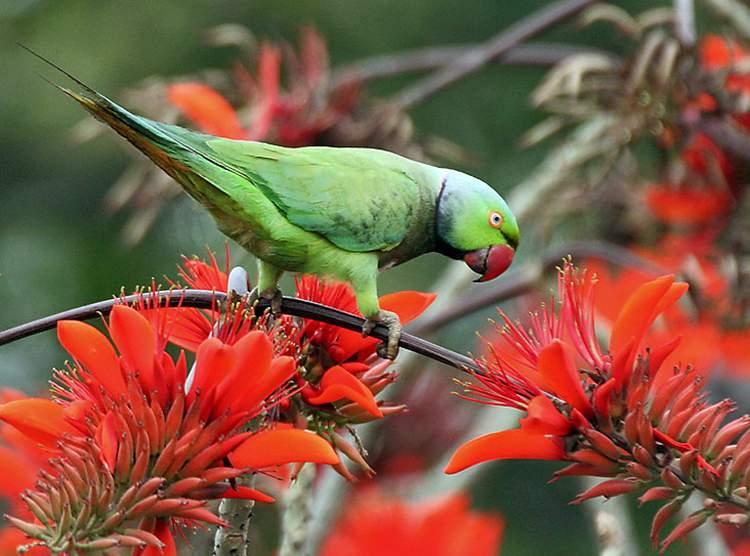 papuga Aleksandretta obrożna papugi ciekawostki o papugach
