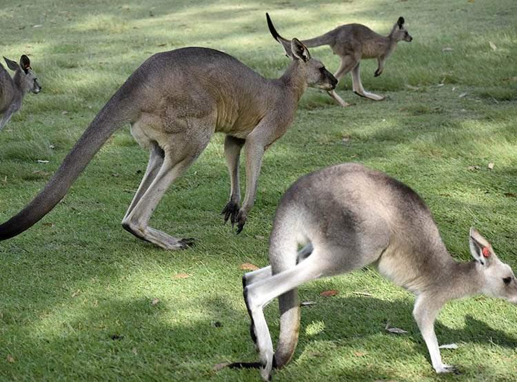 Australia ciekawostki o Australii kangury