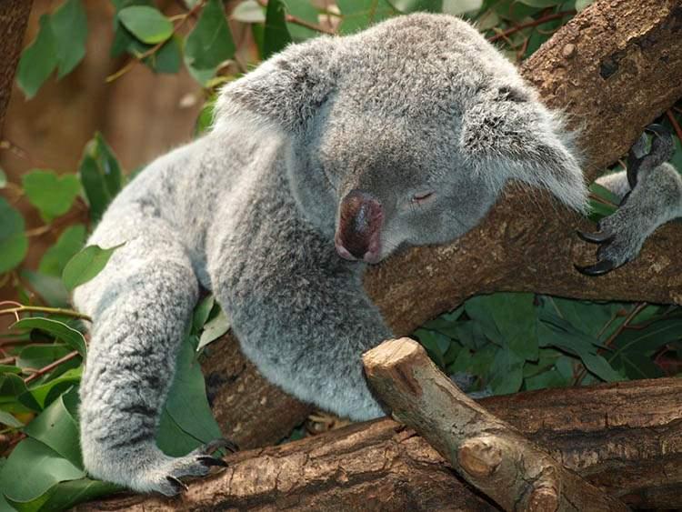 Australia ciekawostki o Australii miś koala
