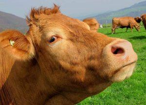 krowy ciekawostki o krowach krowa mleko