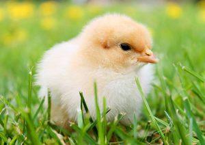 Wielkanoc symbole wielkanocne kurczak