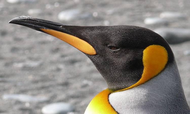 pingwin królewski ciekawostki o pingwinach pingwiny