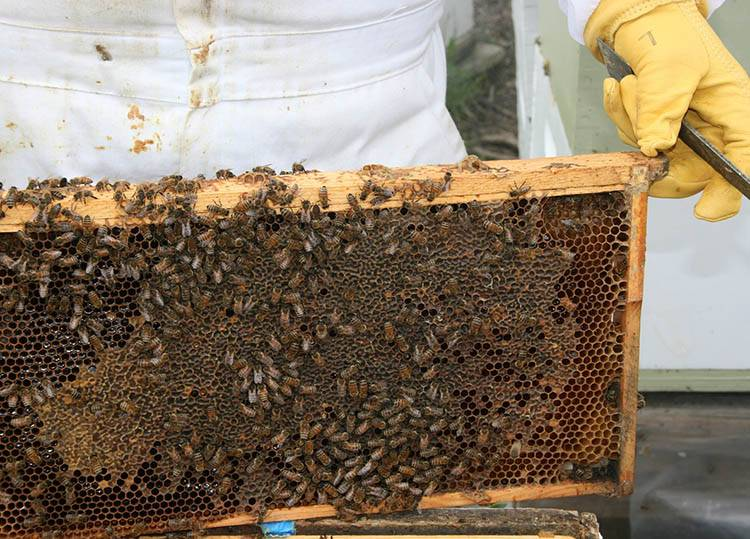 miód ciekawostki o miodzie pszczoły miody