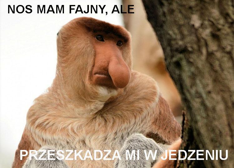 nosacz sundajski ciekawostki nosacze memy borneo