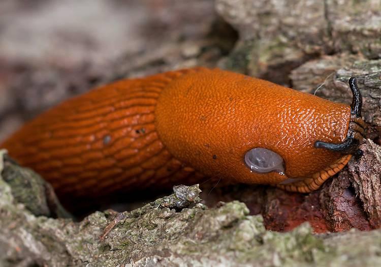ślimak ciekawostki o ślimakach ślimaki arion rufus