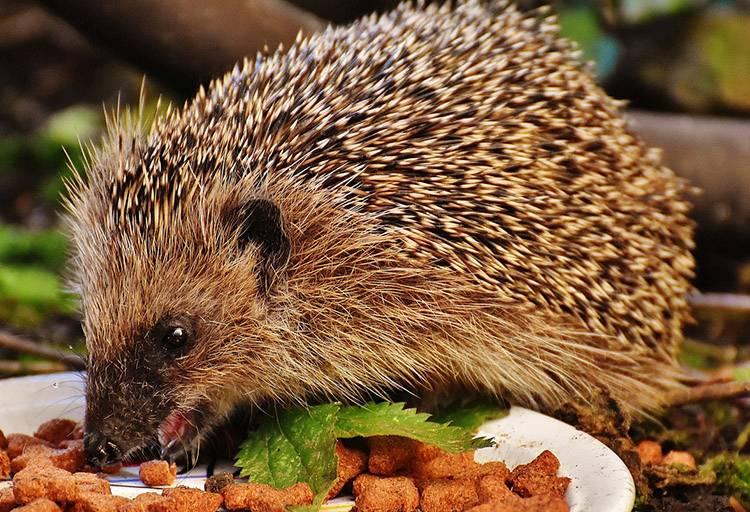 ciekawostki o zwierzętach zwierzęta jeż jeże