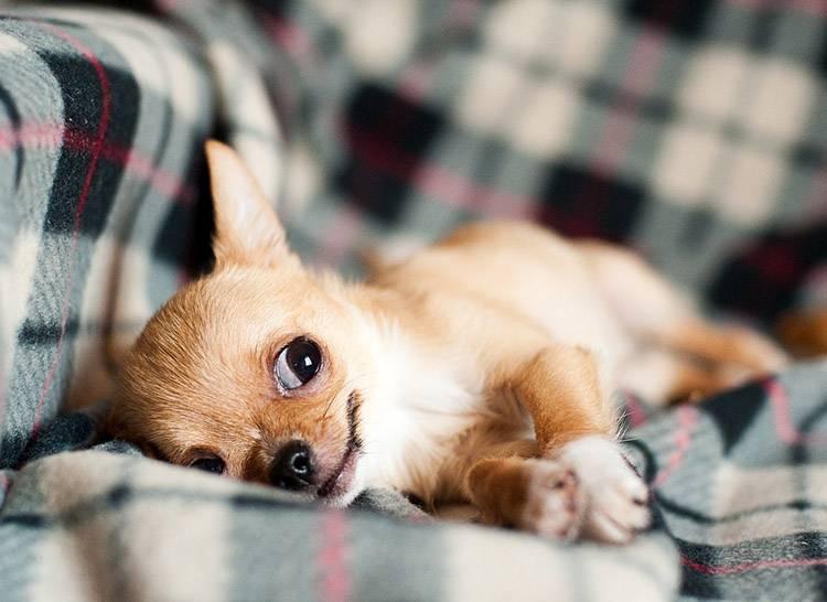 ciekawostki o zwierzętach zwierzęta pies psy chihuahua