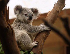 miś koala australijski Australia torbacze