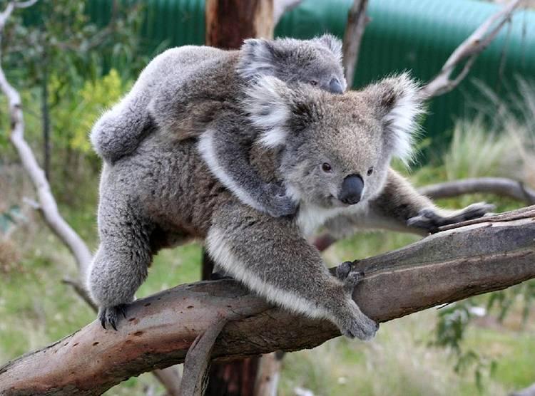 miś koala australijski Australia torbacze eukaliptus