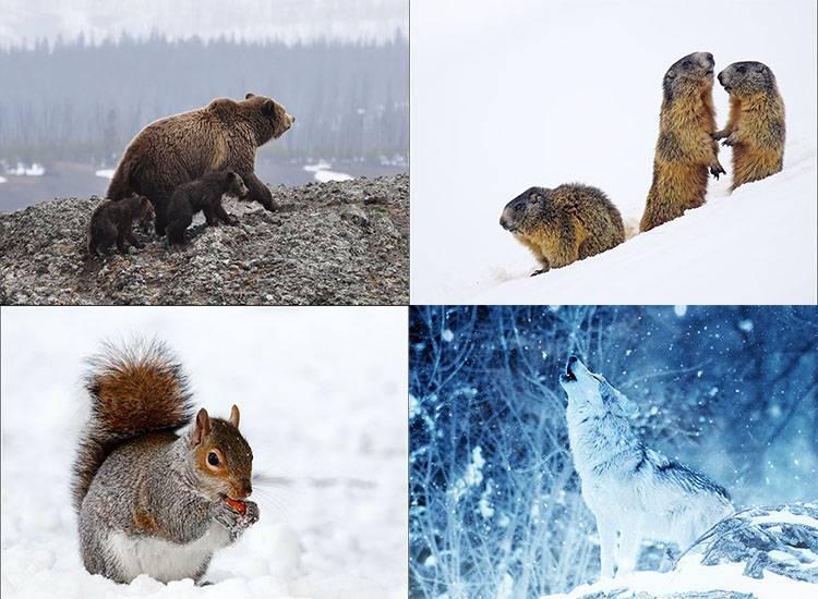 sen zimowy hibernacja zwierzęta zima