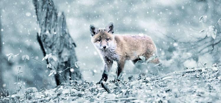 sen zimowy hibernacja zwierzęta zima lis