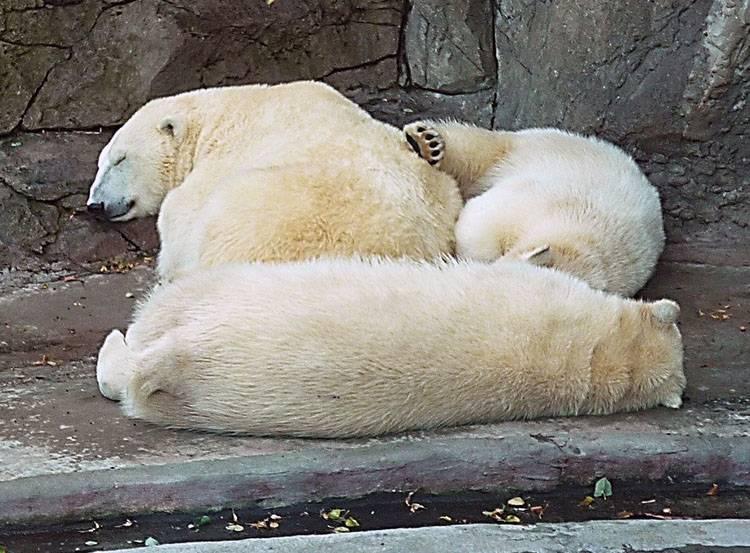 sen zimowy hibernacja zwierzęta zima niedźwiedź polarny