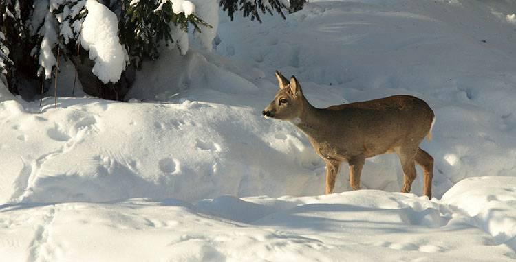sen zimowy hibernacja zwierzęta zima sarna