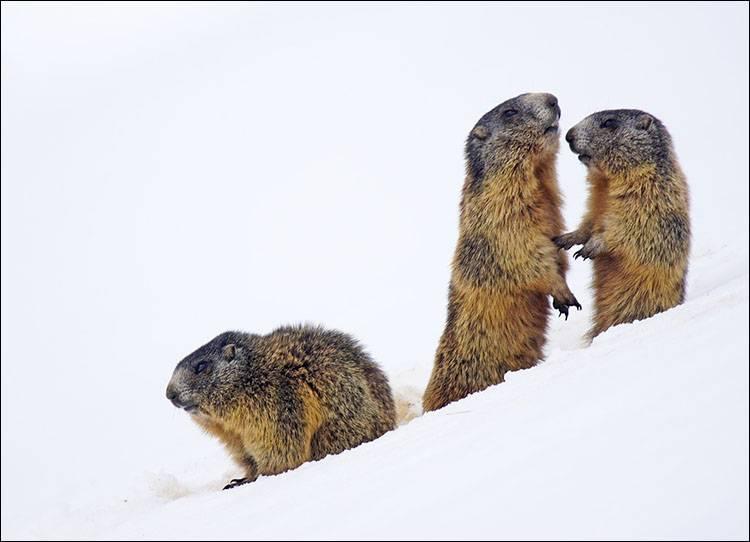 sen zimowy hibernacja zwierzęta zima świstak