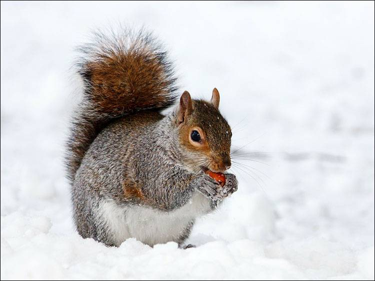 sen zimowy hibernacja zwierzęta zima wiewiórka