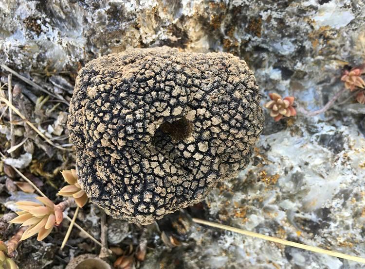 trufle ciekawostki trufla grzyby