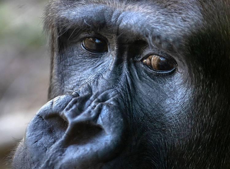 ciekawostki o zwierzętach Afryki goryl goryle