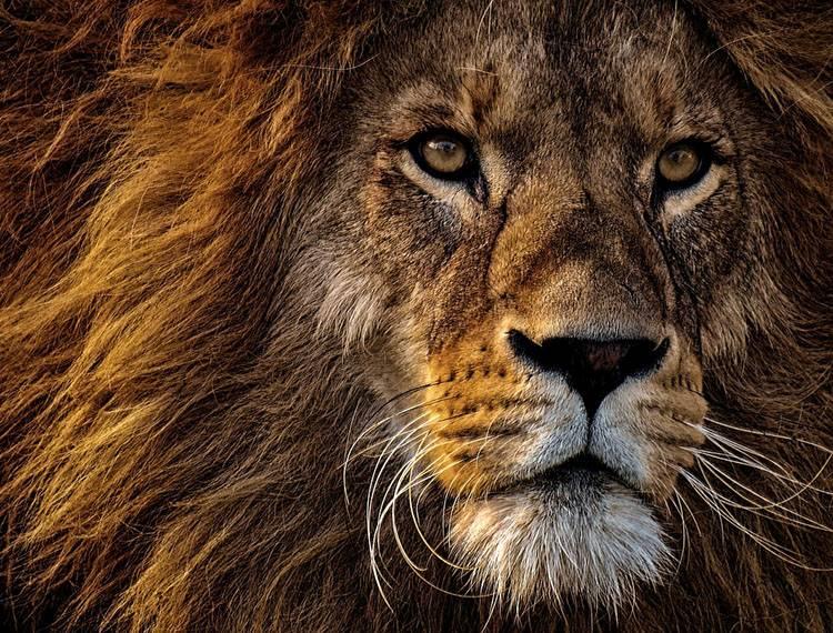 ciekawostki o zwierzętach Afryki lew lwy