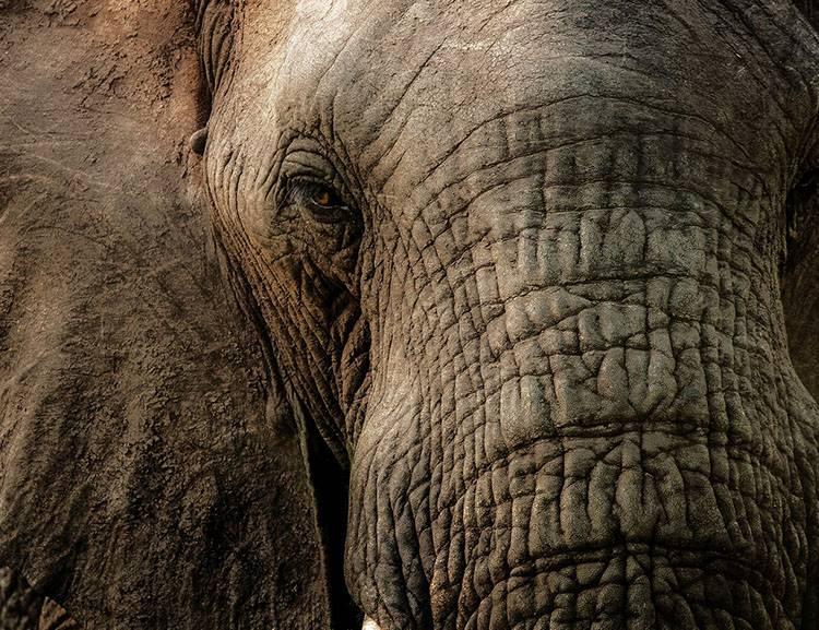 ciekawostki o zwierzętach Afryki słoń słonie