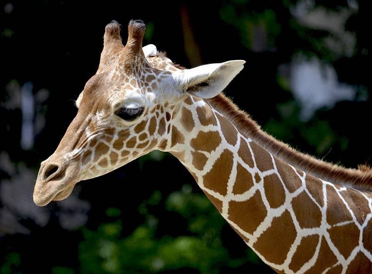 ciekawostki o zwierzętach Afryki żyrafa żyrafy