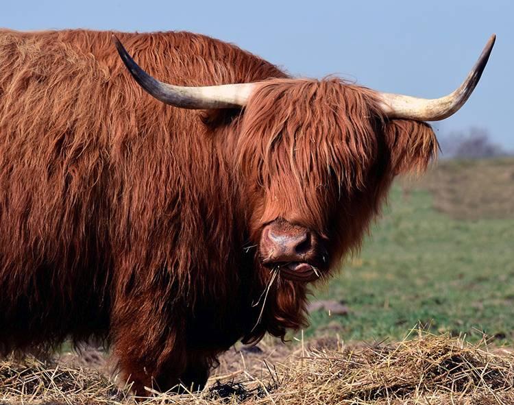 szkocka krowa ciekawostki krowy highland cattle
