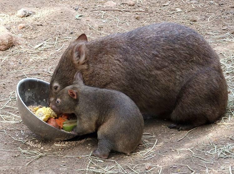 wombat tasmański australijski-ciekawostki wombaty Australia