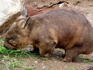 wombat tasmański australijski-ciekawostki wombaty Australiawombat tasmański australijski-ciekawostki wombaty Australia