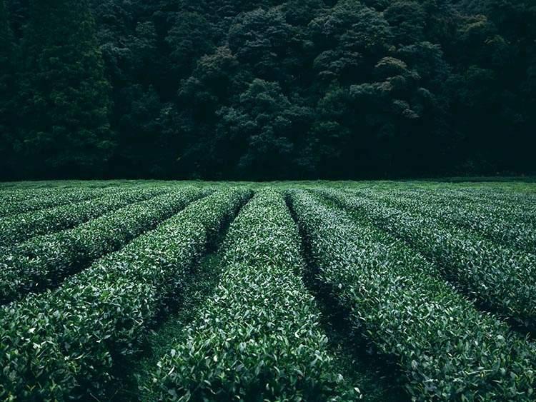 herbata na świecie ciekawostki o herbacie
