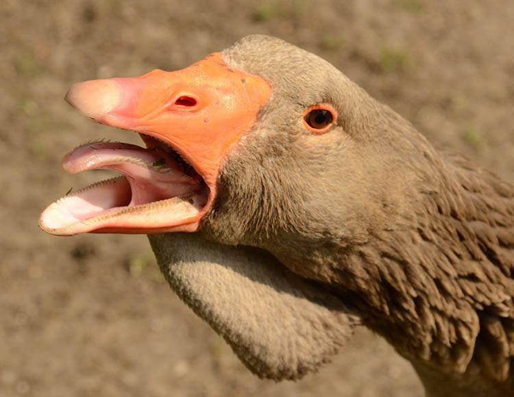 gęś gęsi żyrafy język języki zwierząt ciekawostki o językach zwierzęta