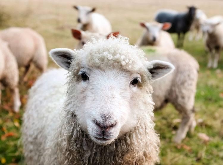 owce Irlandia ciekawostki o Irlandii