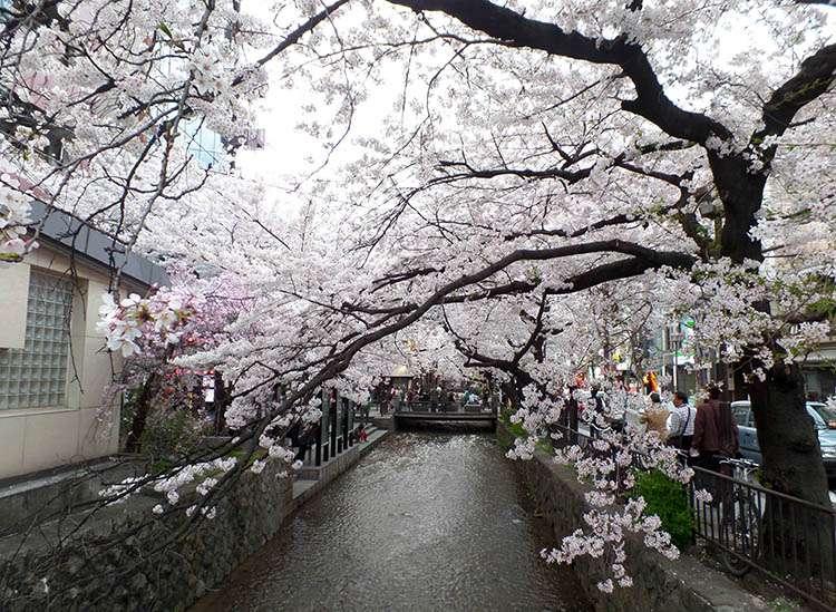 kraj kwitnącej wiśni Japonia Kyoto