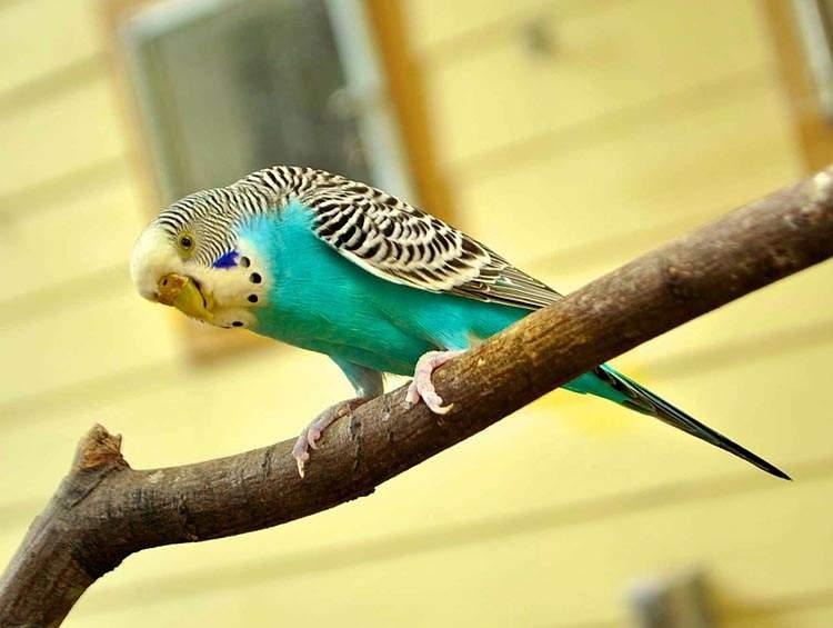 papużka falista ciekawostki papużki faliste