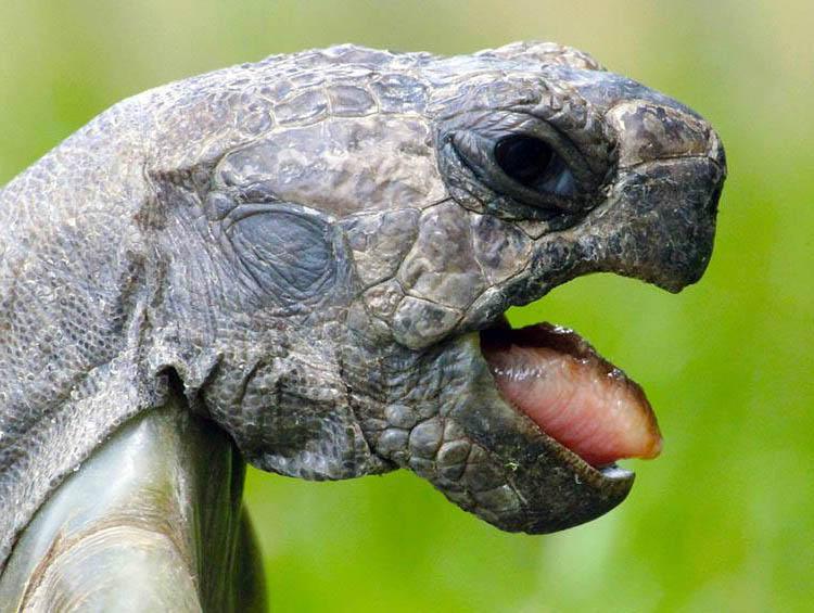 żółw żółwie język języki zwierząt ciekawostki o językach zwierzęta