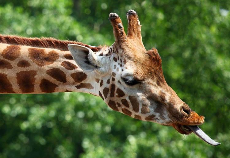 żyrafa żyrafy język języki zwierząt ciekawostki o językach zwierzęta
