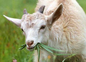 kozie mleko ciekawostki kozy koza