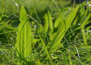 zioło babka ciekawostki ziele zioła